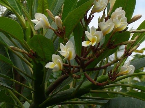Free stock photo of Hainan Island, magnolia, rain forest