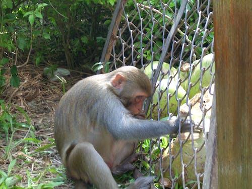 Free stock photo of Hainan Island, monkey island, monkey stealing food