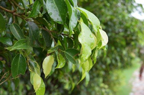インド, モンスーン, 葉の無料の写真素材
