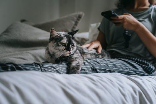 Mèo đen Xám Trên Giường