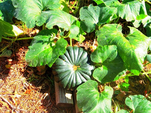 Free stock photo of Unidentified Calabaza squash.