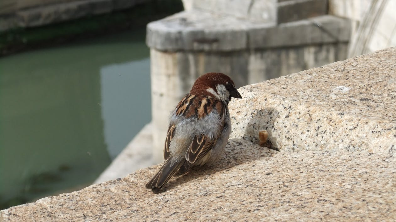 Free stock photo of a lonely sparrow, rome italy