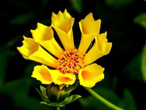 Foto d'estoc gratuïta de flor, flora, florir, groc