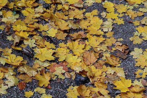 Бесплатное стоковое фото с дерево, желтый, земля, листва