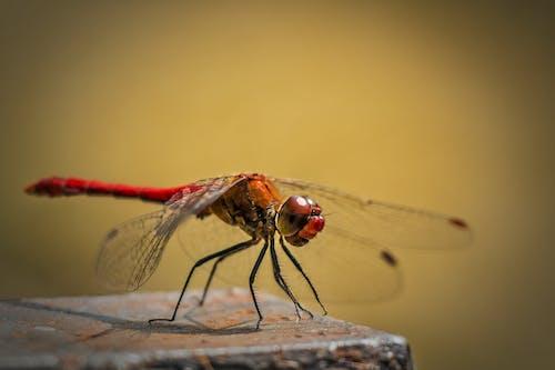 Безкоштовне стокове фото на тему «бабка, великий план, комаха, макрофотографія»