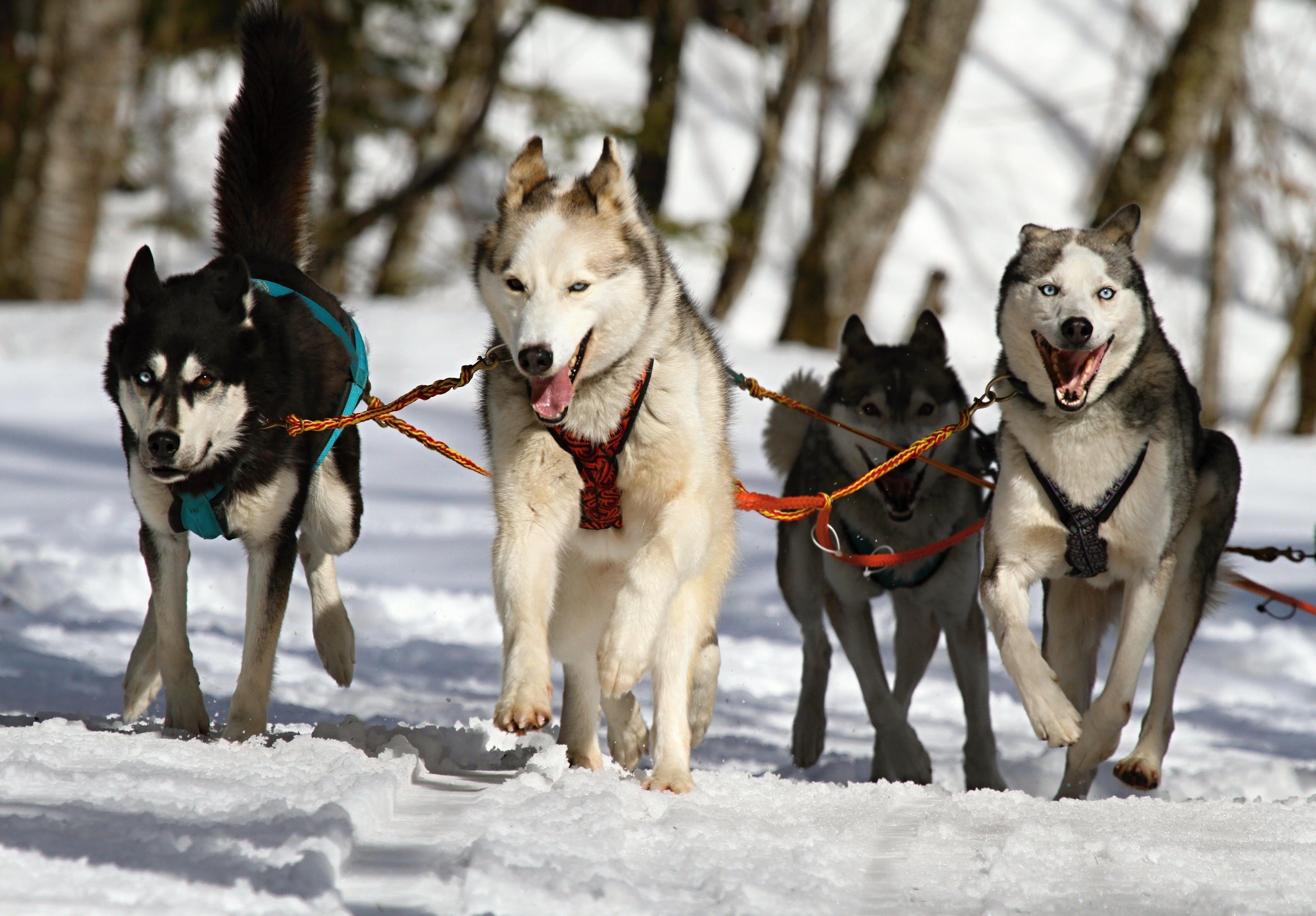 cho husky Si-bê-ri-a, loài chó, mùa đông
