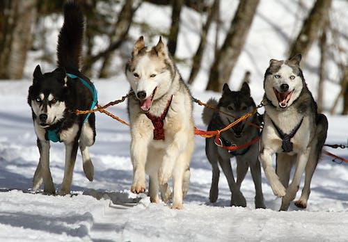 doğa, hayvanlar, husky, kar içeren Ücretsiz stok fotoğraf