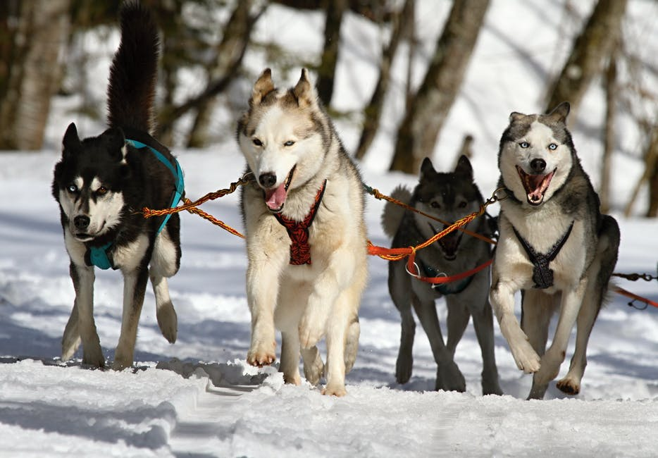 Huskeys Driving Sled Through White Snow