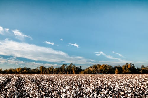 Free stock photo of alabama, Black Belt, cotton