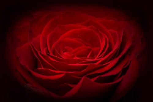 Бесплатное стоковое фото с красный, роза, снимок крупным планом, флора