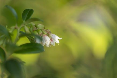 Безкоштовне стокове фото на тему «#blossom bleuberry #bleuberry #bosbes #bloesem»