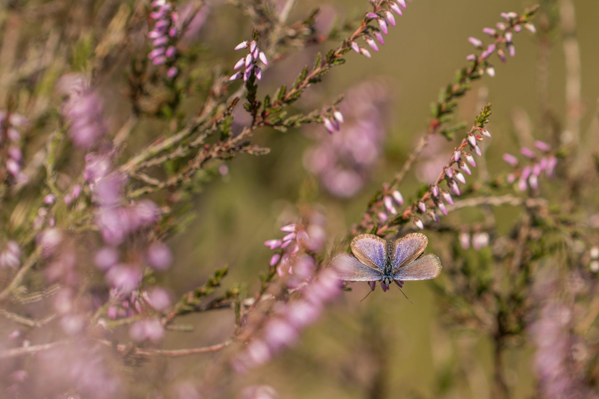 Kostenloses Stock Foto zu #butterfly #purpel #blauw #heide blauwtje