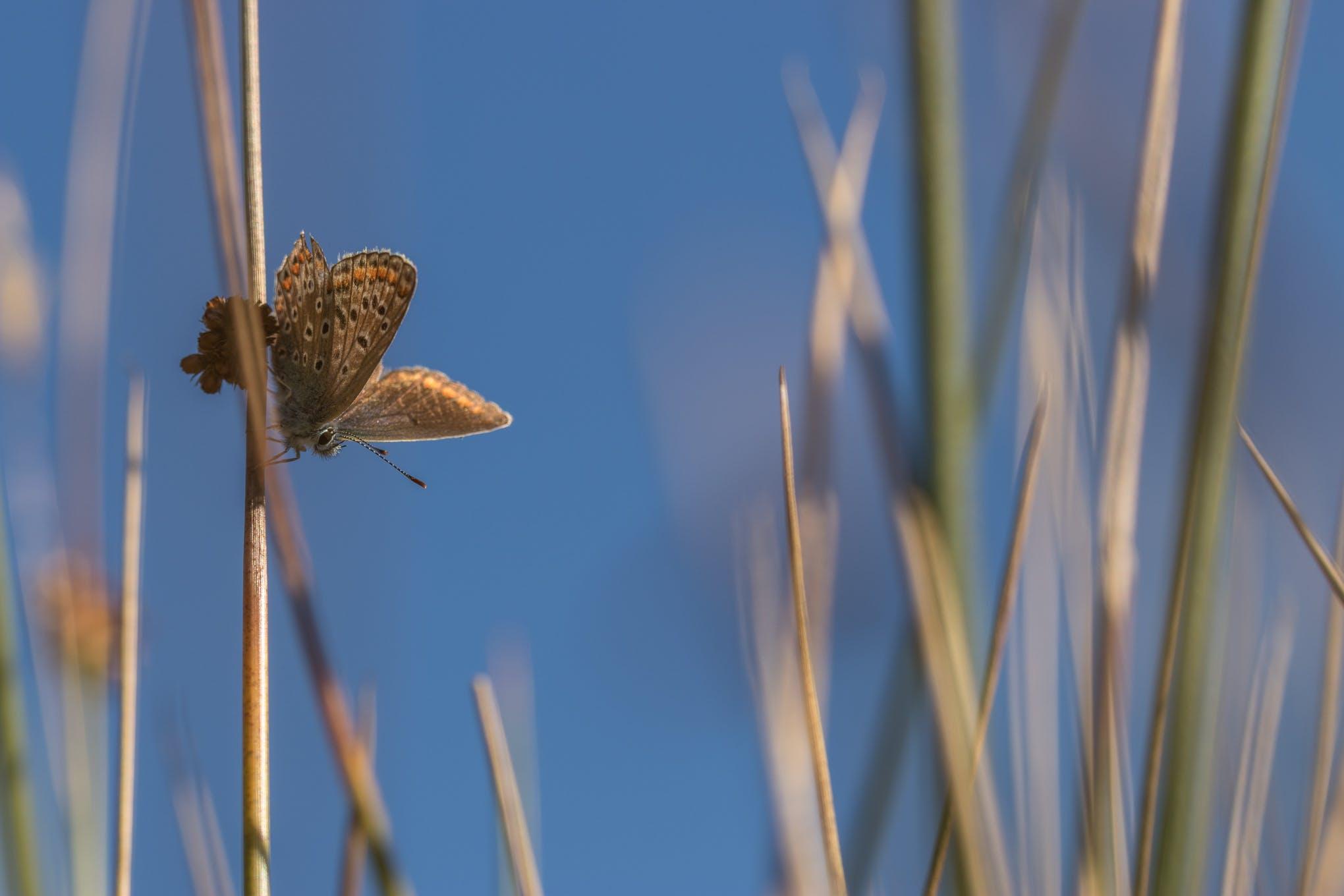 Kostenloses Stock Foto zu #butterfly #heideblauwtje #blauw #bleu