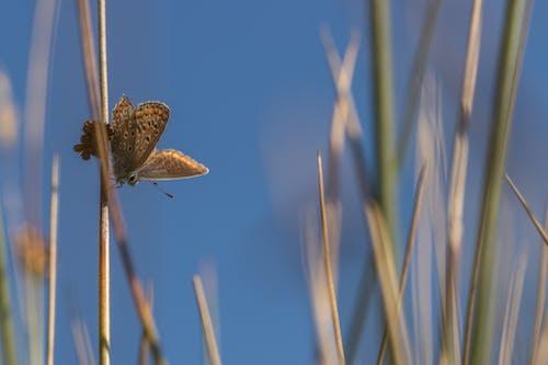 #butterfly #heideblauwtje #blauw #bleu içeren Ücretsiz stok fotoğraf