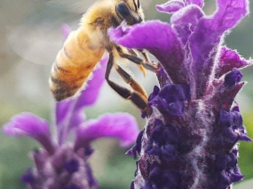 Foto profissional grátis de abelha, abelha em vôo, abelhas, alimentação de abelha