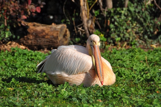 White Pelican Resting on Green Plants