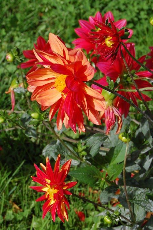 Δωρεάν στοκ φωτογραφιών με κόκκινο, λουλούδι, πορτοκάλι