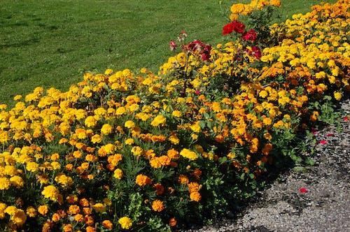 Безкоштовне стокове фото на тему «квіти, ліжко квітів»