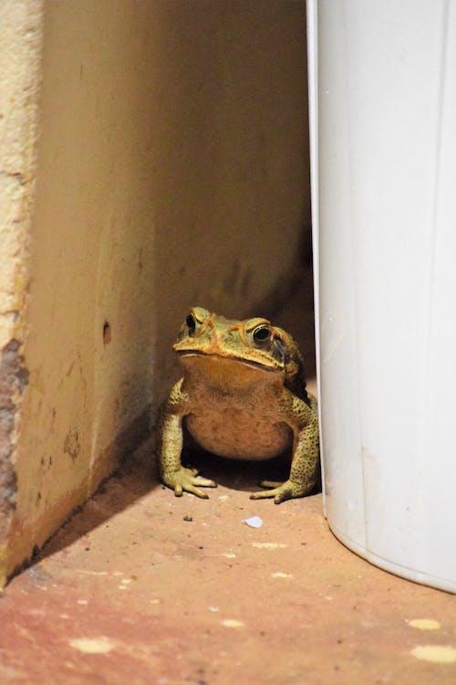 Free stock photo of amphibian, anfibio, animais