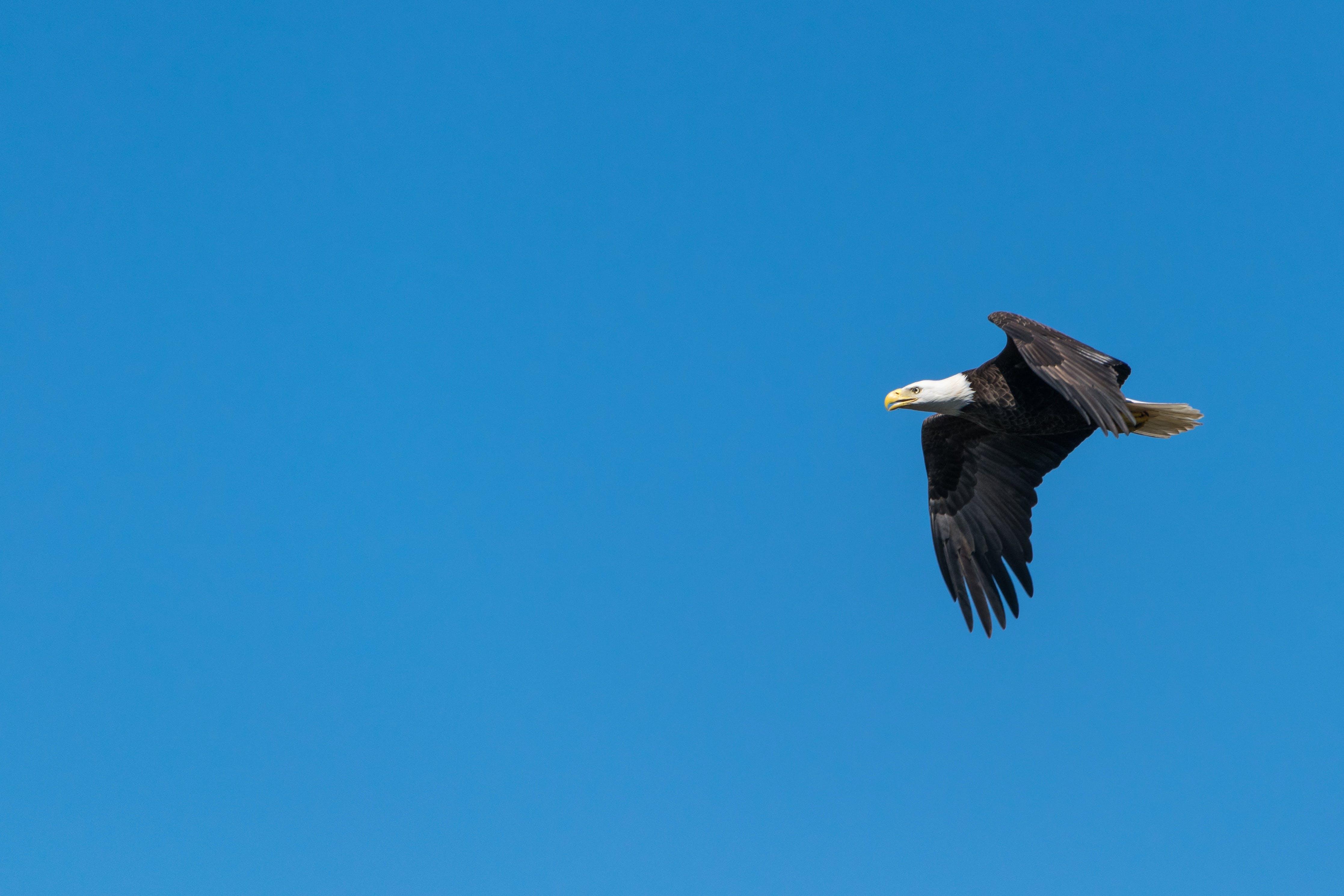 Bald Eagle Flying Under Blue Sky during Daytime