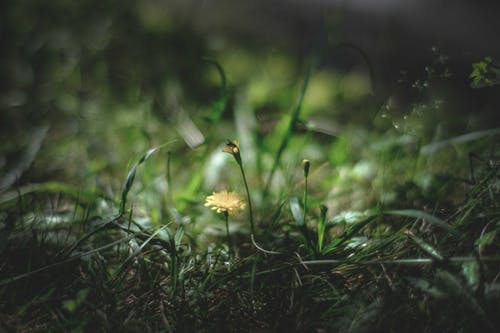 Small blossoming dandelion on thin stem growing in grassy glade in natural environment