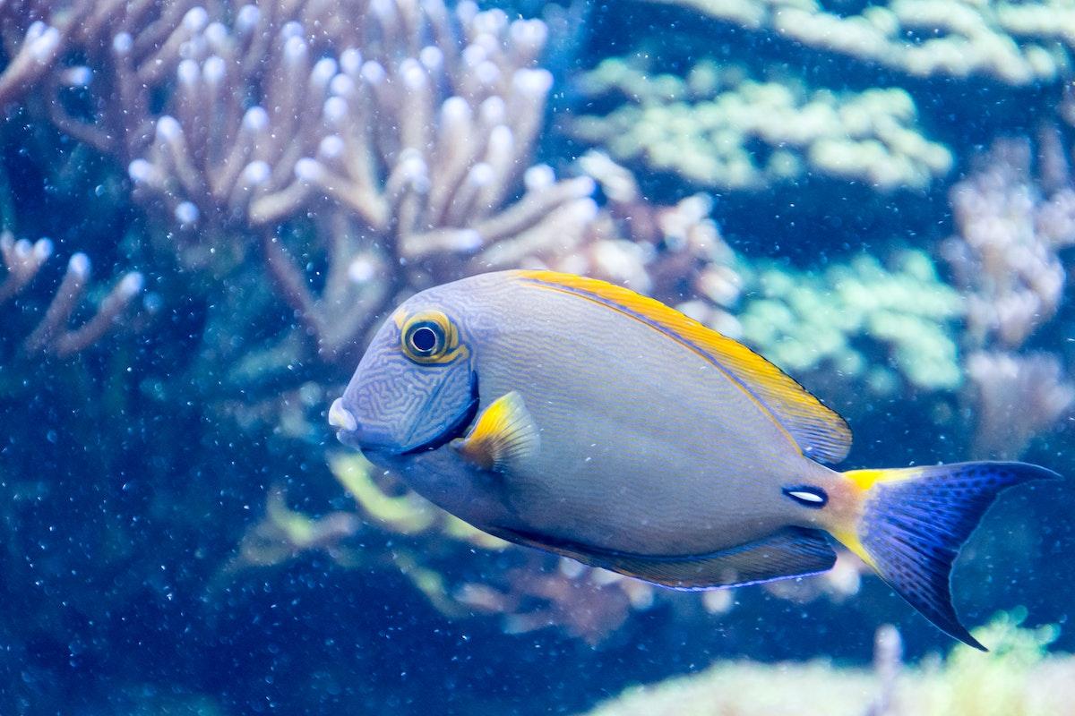 Grey And Yellow Salt Fish 183 Free Stock Photo