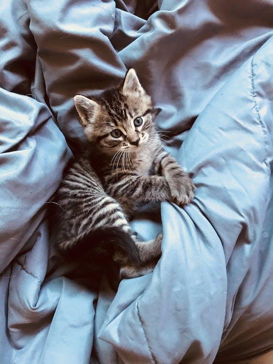 dyr, grå, kat