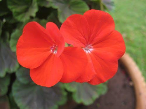 Free stock photo of beautiful flowers, flower, flower garden