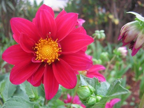 Free stock photo of beautiful flower, flower, garden