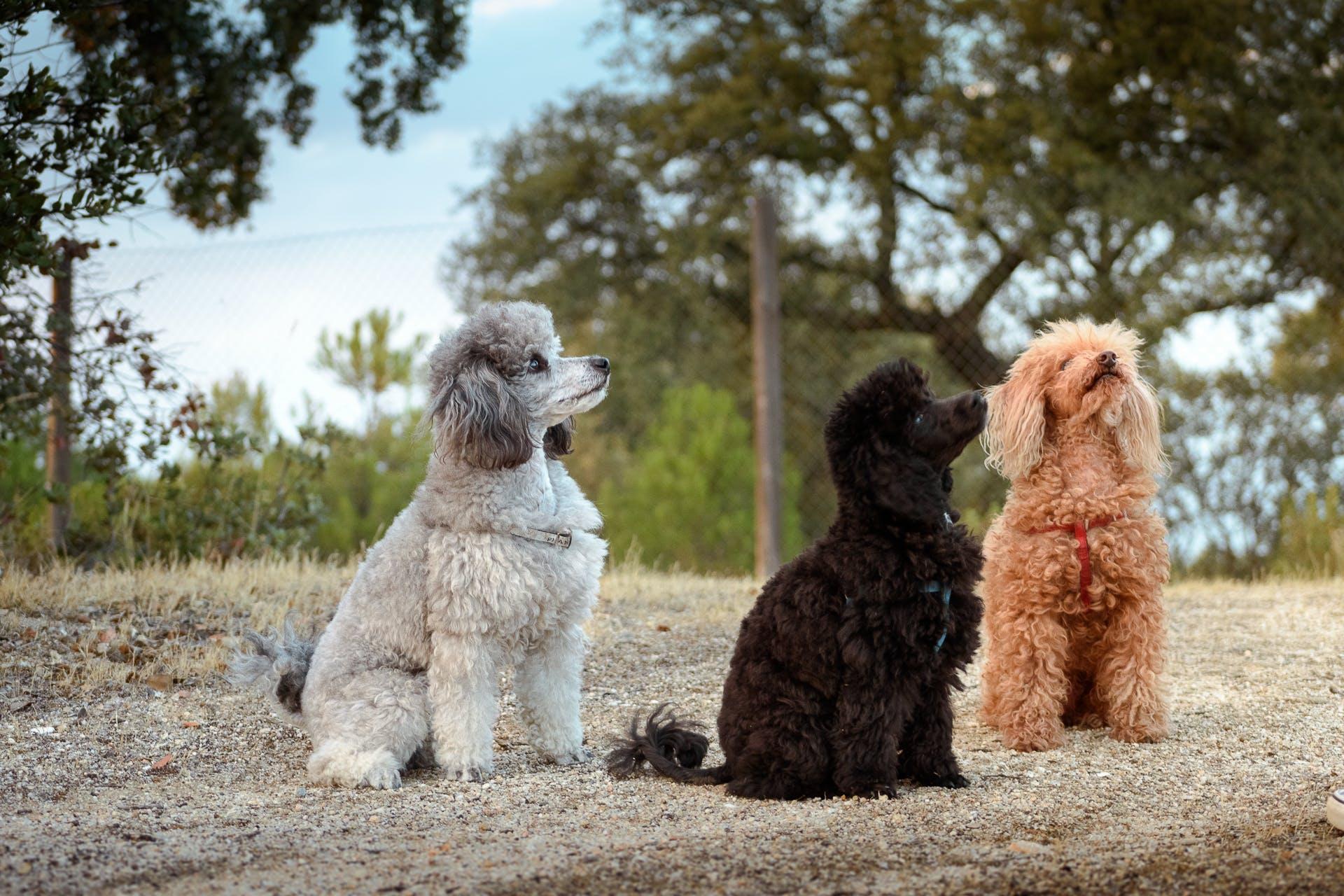 caniche, poodle, toy poodle