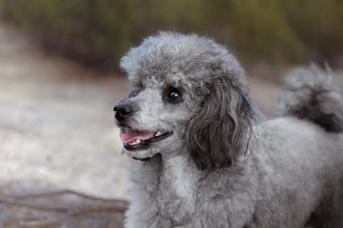 Free stock photo of caniche, grey poodle, poodle, toy poodle