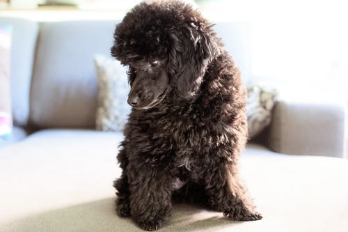 Free stock photo of black poodle, caniche, poodle, toy poodle