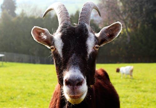Ảnh lưu trữ miễn phí về cừu, cừu đen, tiêu điểm