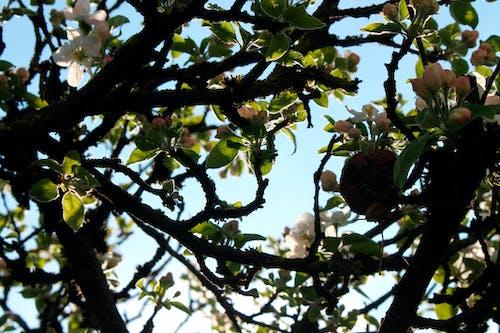 Ảnh lưu trữ miễn phí về bầu trời quang đãng, cây táo