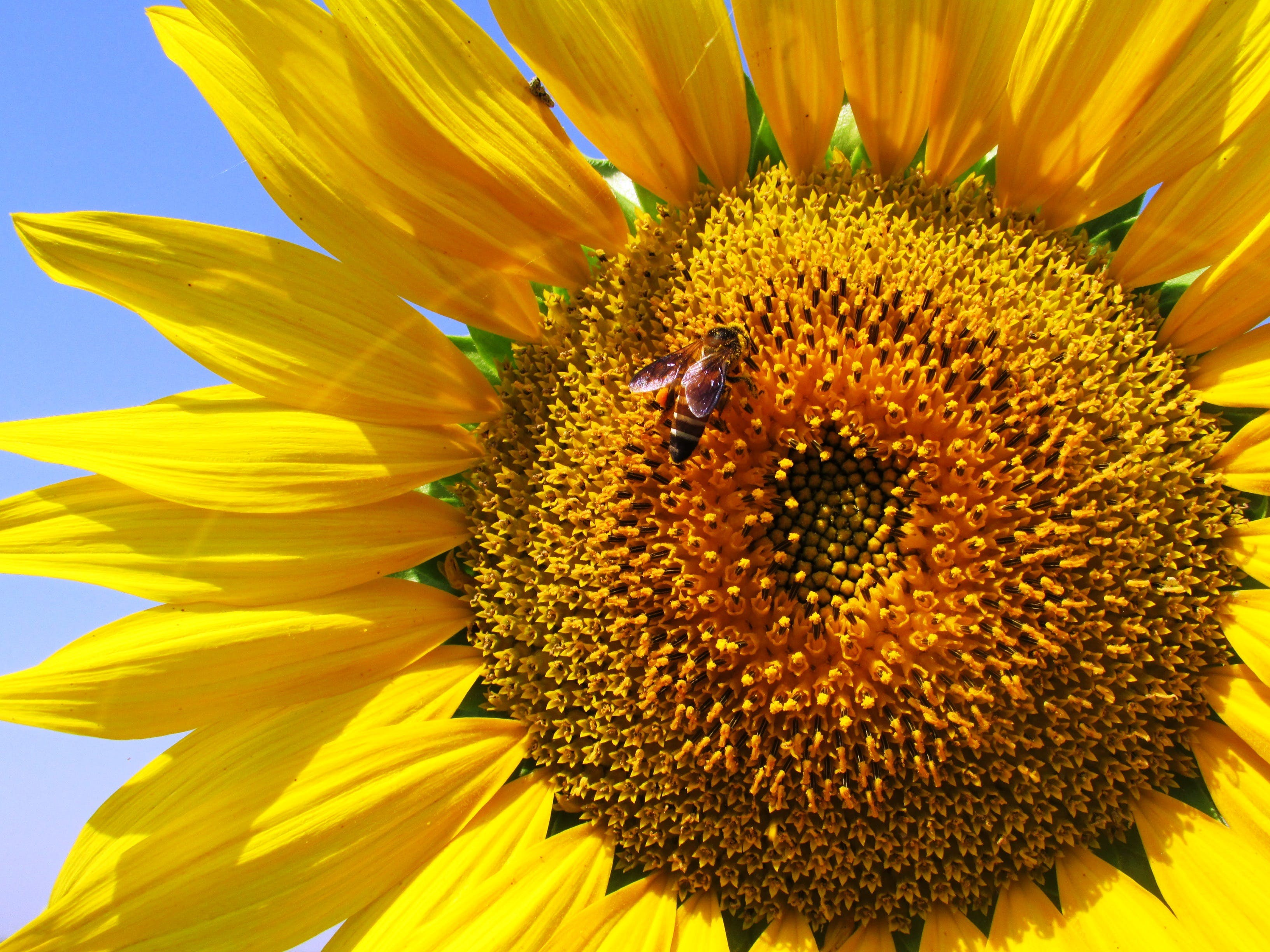 Honeybee on Sunflower during Daytime