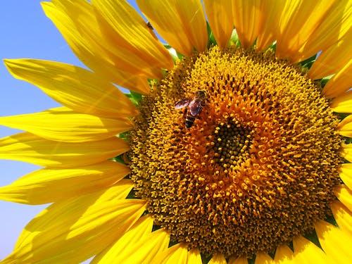 Imagine de stoc gratuită din albină, floare, floarea-soarelui, floră