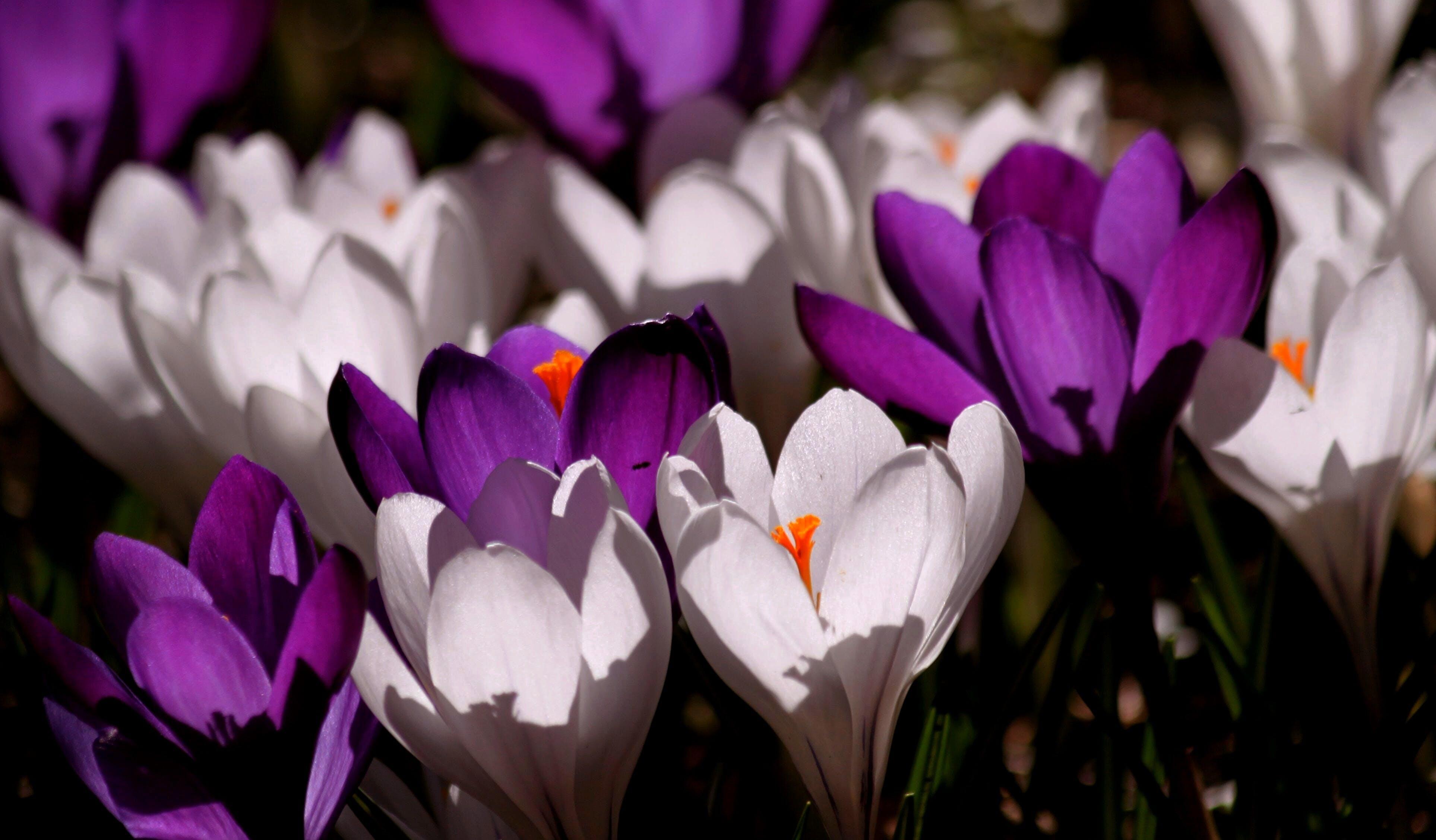 White Purple Crocus Flower during Daytime