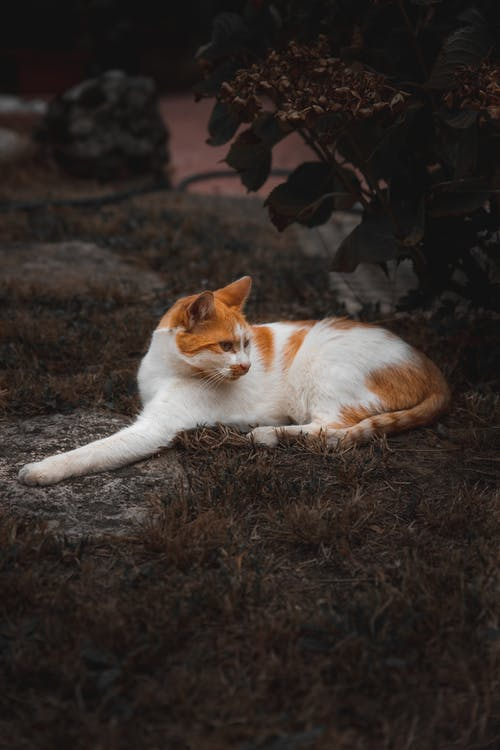 White and Orange Cat Lying on Brown Grass