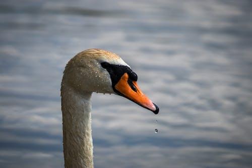 Graceful swan swimming on lake in daylight