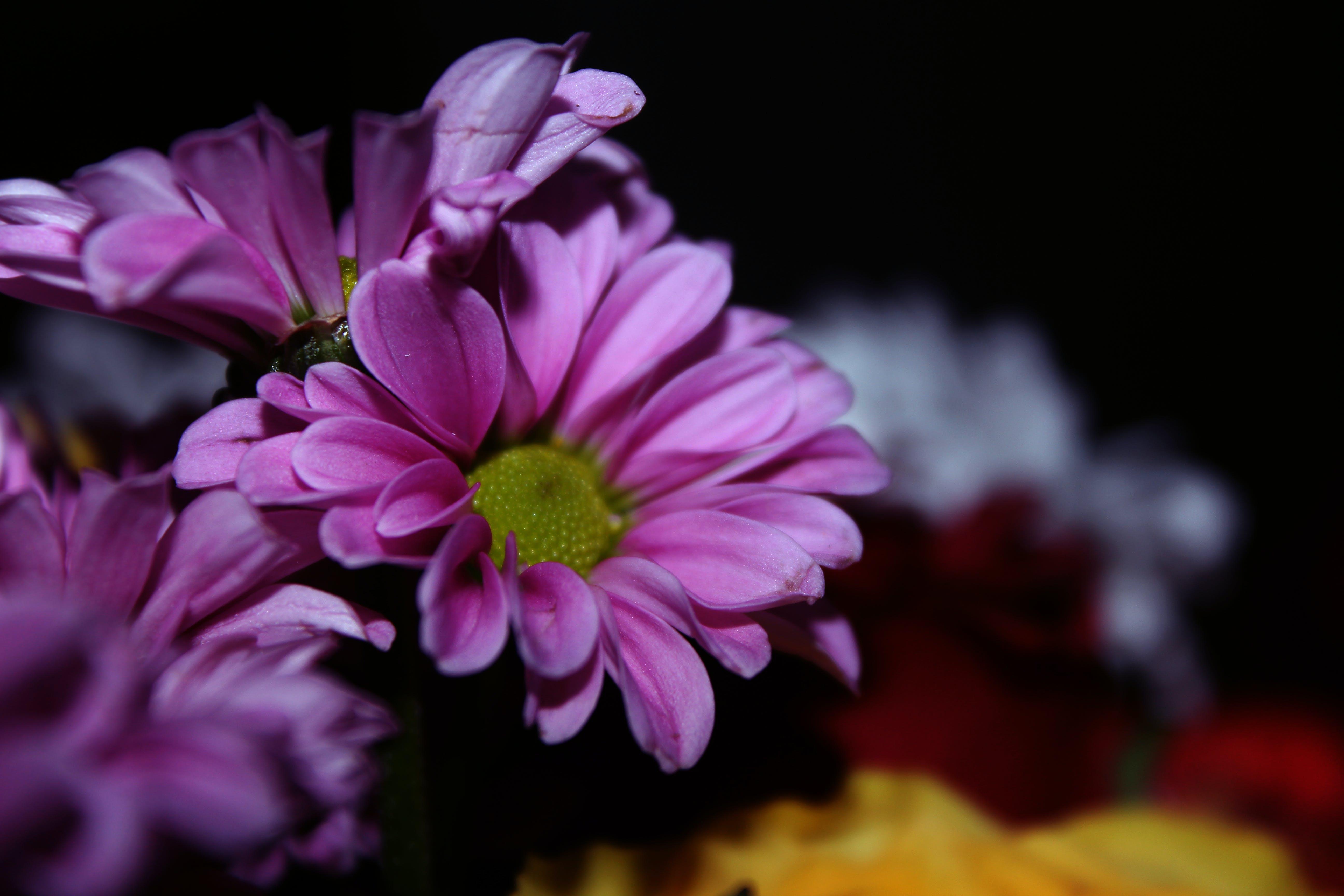Gratis lagerfoto af blomster, blomstermotiv, farverig, flora