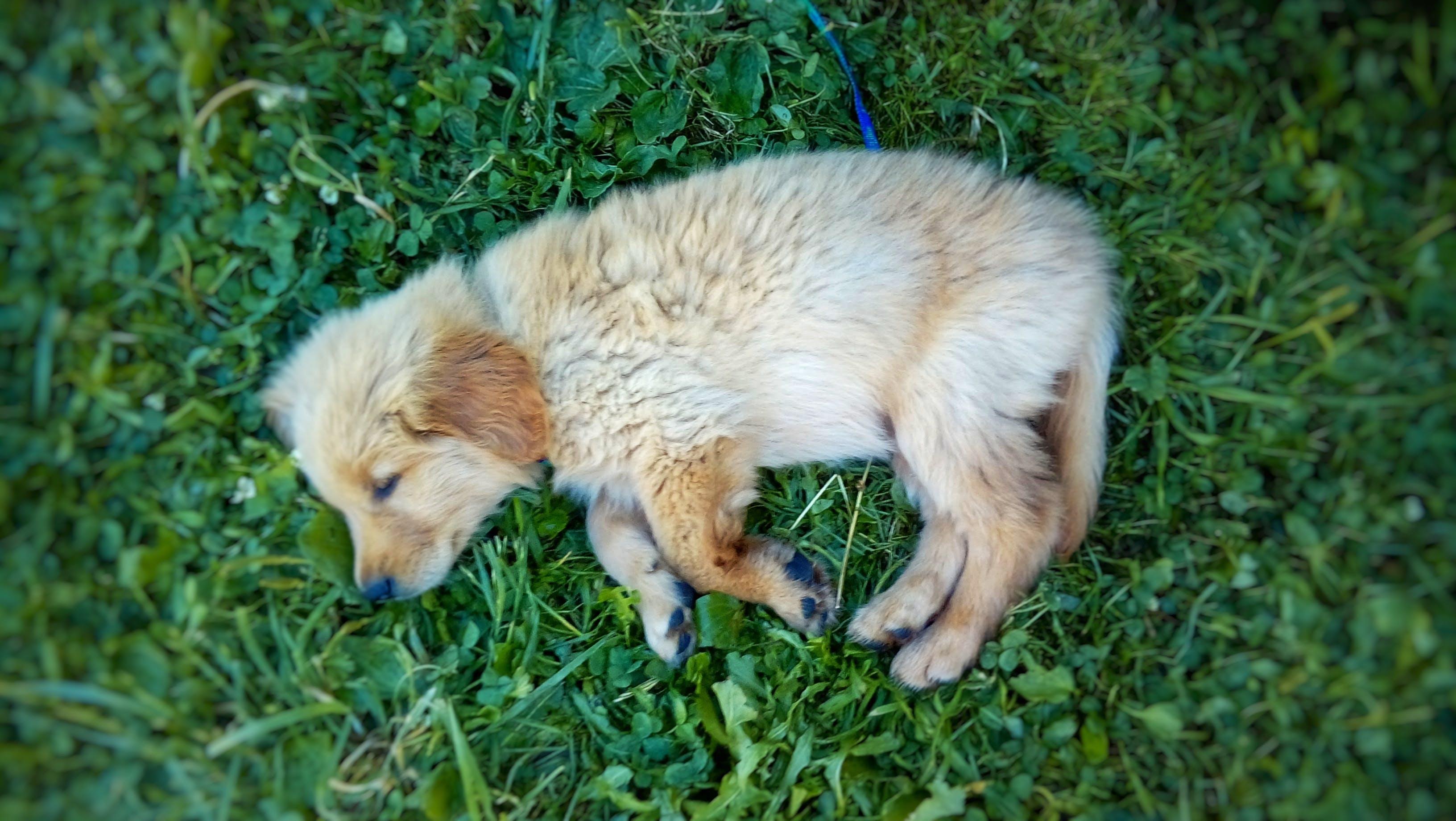 Free stock photo of dog, golden retriever, grass, HD wallpaper
