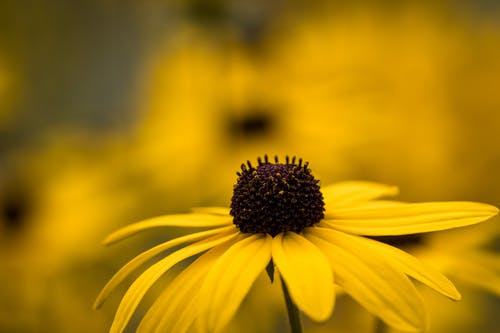 Closeup of black eyed Susan flower with bright yellow petals growing on meadow on sunny day