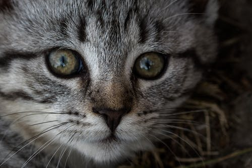 Closeup muzzle of adorable European Shorthair cat with green eyes looking at camera in daylight