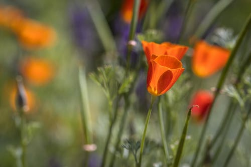 Gentle bright golden poppies and purple wildflowers growing on green meadow on sunny day