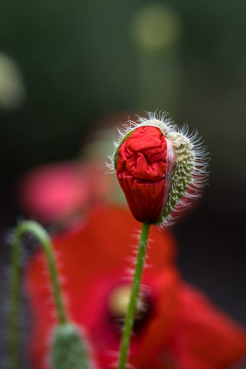 Closeup of blooming bud of red common poppy growing on field on sunny day