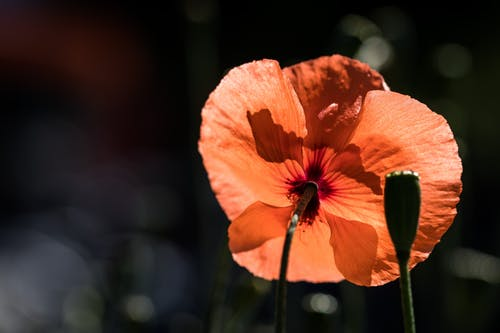 Delicate red Papaver dubium flowering plant growing in nature