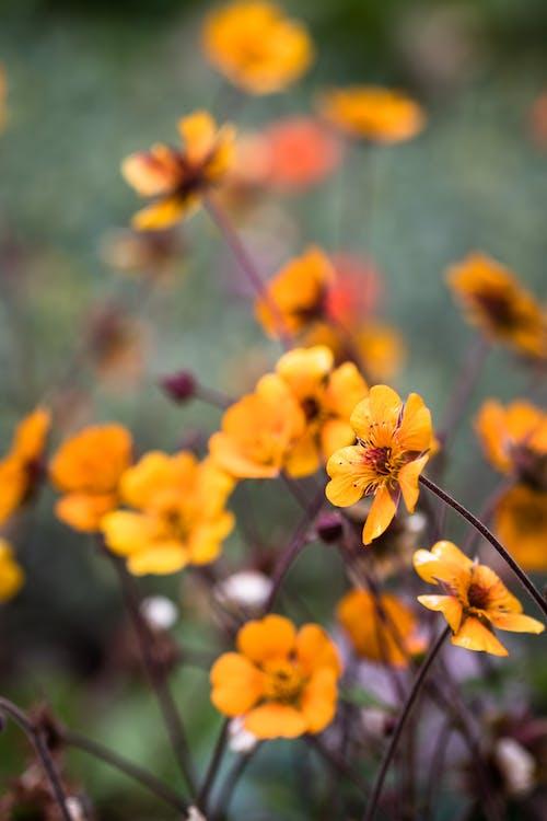 Bright blooming Geum coccineum flowers growing in field