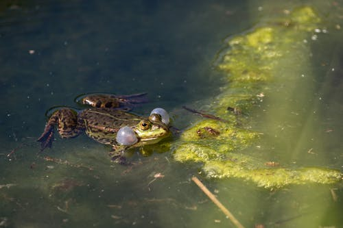 From above of croaking frog swimming in lake water with green seaweeds and plants on sunny day