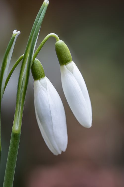Blossoming snowdrops with pleasant aroma in daytime