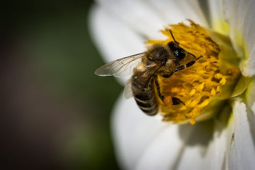 Apis mellifera carnica honey bee pollinating blooming white flower in sunlight